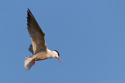 Visdief / Common Tern / Sterna hirundo / Fluss-Seeschwalbe (1/2)