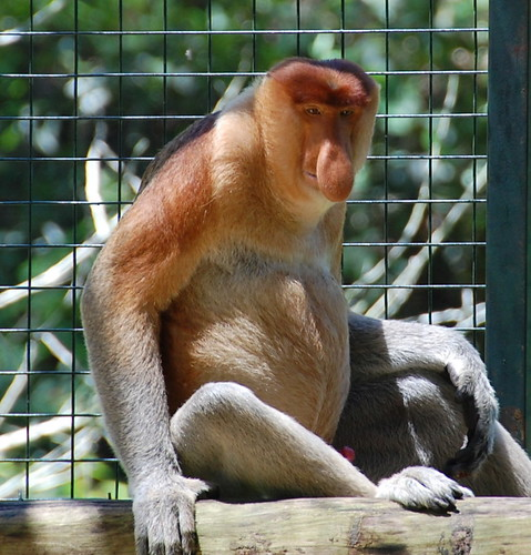 Proboscis monkey with erection!