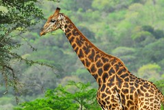 The side-on view (jeremyhughes) Tags: game southafrica nikon bokeh wildlife reserve explore giraffe d200 nikkor giraffacamelopardalis hluhluweumfolozi jeremyhughes nikond200 supershot 300mmf4d specanimal animalkingdomelite