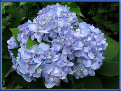 Another new clusters of Mophead Hydrangea 'Endless Summer', shot November 2, 2007
