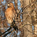 Perched Red-Shouldered Hawk By Jack Bird