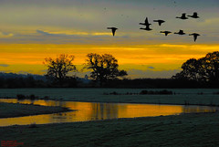 GEESE FLYING PAST (spw6156) Tags: world sunset beautiful sunrise flying geese is amazing searchthebest shots past the at diamondclassphotographer flickrdiamond httpwwwsdresslerdeflickr spw6156 copyrightstevewaterhouse