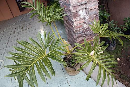 2082749365 1afcc51811 Philodendron bipinnatifidum
