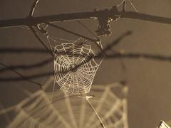 Telaranyes (Sabreur76) Tags: spiders insects spidersweb spiderwebs webs vicen feli sabreur76 vicenfeli