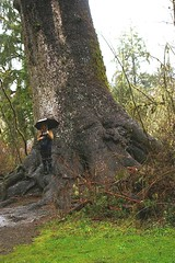 Quinault_World's Largest Sitka Spruce