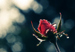 True Love..... (*Cinnamon) Tags: rose inmygarden 50mmf14d photoswithquotes closeupfilter4 nikond300 afterthemorningwalk