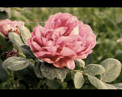 ..  ..  .. (CUTEST PRINCESS) Tags: pink baby flower green home rose garden princess cutest doha qatar