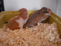 Persephone e Aristteles (ou Pink e cerbro...) (Acchile Biagioli) Tags: rodent couple cage hamster hamsters gaiola roedor auratus roedores mesocricetus