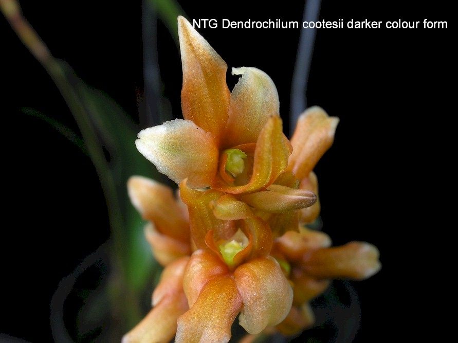 Dendrochilum cootesii darker colour form