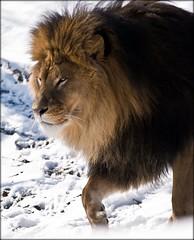 The Lion in Winter (hadowdancer) Tags: snow cat nikon feline lion bigcat mane tawny africanlion mufasa d80 specanimal nikkor70200mmf28vr impressedbeauty