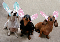 Bunnies Take 2 (geckoam) Tags: dog bunny puppy easter pepper hotdog sausage dachshund blackdog wiener mocha levi piebald reddog wienerdog easterbunny doxie whitedog easterbunnies