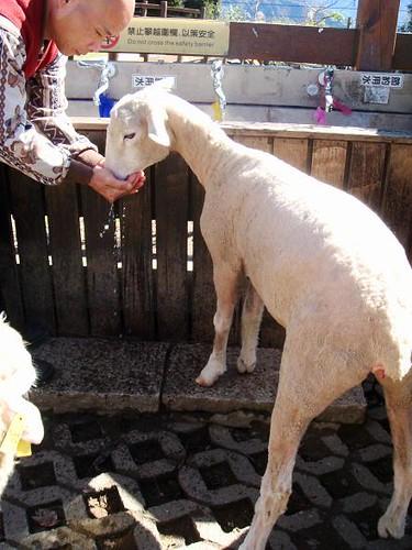 sheep drinks1