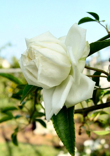 White Lady Banks 'Alba Plena'