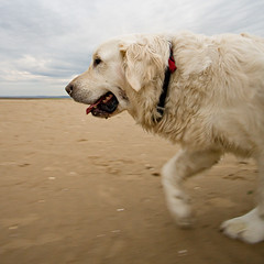 Polar Attack (mahonyweb) Tags: uk dog goldenretriever interestingness interesting explore 2008 alfie lightroom canon1740l top500 flickrexplore magicdonkey canonllens mahonyweb canoneos1dsmarkiii canon1dsmkiii wwwmahonywebcom