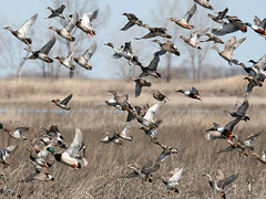 Ducks Unlimited (Random Images from The Heartland) Tags: birds southdakota ducks aves wetlands waterfowl prairiepothole mntncphotocontest