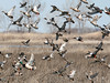 Ducks Unlimited (Random Images from The Heartland) Tags: chris birds southdakota ducks aves bailey wetlands waterfowl chrisbailey prairiepothole mntncphotocontest chrisbaileyimages
