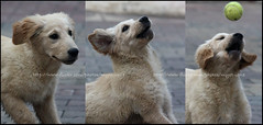 (Mystique <3) Tags: dog cute ball puppy golden jump jumping retriever delirium fetch mystique qtrz