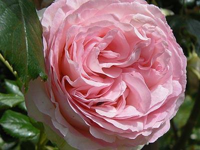 rose très rose !.jpg