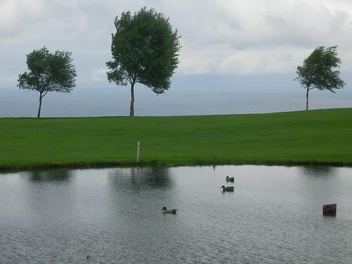 Decoy Golf Course Ducks