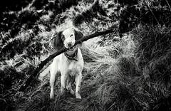 "My little Pupperilo ""Rupert Bear"" (Missy Jussy) Tags: puppy dog englishspringer spaniel springerspaniel dogwalk wetdog mono monochrome portrait dogportrait blackwhite blackandwhite bw hillside grass field stick branch canon canon70200mm canon5dmarkll littledoglaughednoiret"