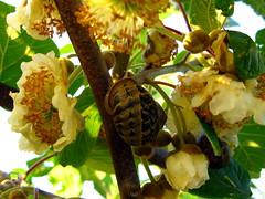 caracol entre flores de kiwis (jacilluch) Tags: white flower macro fleur flor blossoms snail blanca kiwi snails caracoles crema mollusca gastropoda caracol cultivo enredadera pulmonata helixaspersa naturesfinest molusco moluscos actinidia fineartphotos plantatrepadora actinidiadeliciosa cornuaspersum macroaward brillianteyejewel macromarvels cryptomphalusaspersus girandoleespirali univalvos hélixaspersa cantareusaspersus