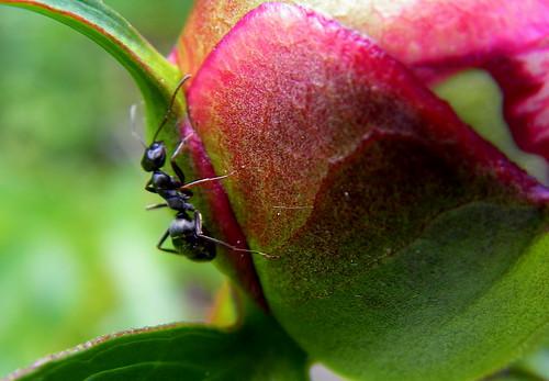 Ant II