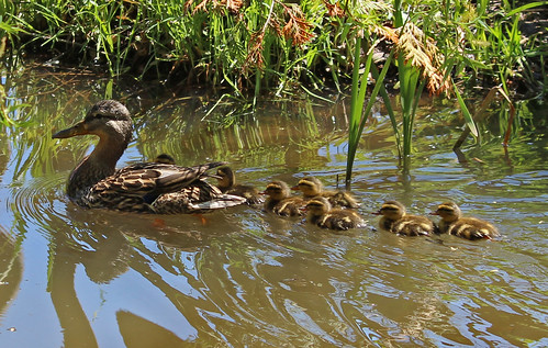 Ducklings in our pond 4