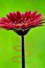 Itsa Kinda Magic (Tony Shertila) Tags: red england flower color colour macro green spiral europe britain gerbera swirl fx ohhh wirral bromborough platinumheartaward creattività mygearandme