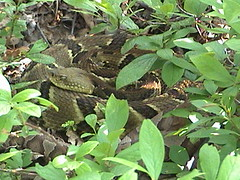 Timber Rattlesnake with Copperheads (HeterodonPA) Tags: nature animals wildlife snakes reptiles copperhead timberrattlesnake rattlesnakes crotalushorridus pitvipers