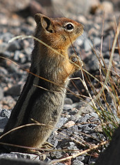 Chipette (4Durt) Tags: craterlake spermophilussaturatus curttoumanian cascadegoldenmantlegroundsquirrel