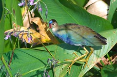 I Love The Flowers (burt1barnett) Tags: bird nature water birds pond wildlife shiningstar wetland purplegallinule naturesfinest blueribbonwinner beautyisintheeyeofthebeholder beautifulcapture mywinners mywinner freenature