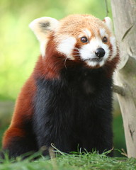 Red Panda (Gary Wilson แกรี่ วิลสัน) Tags: ireland cute animal zoo panda wildlife adorable redpanda endangered dublinzoo digitalcameraclub supershot specanimal avisittothezoo animalkingdomelite aplusphoto thebestofday gününeniyisi qualitypixels vosplusbellesphotos