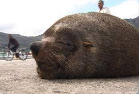 Kinship Circle - 2007-10-29 - 13 - Pietie the Cape Fur Seal Bull