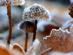 After a cold night (Tom Heijnen) Tags: mushroom frost strabrechtseheide icecristal ctomheijnen