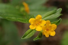 Anglų lietuvių žodynas. Žodis lithospermum canescens reiškia <li>lithospermum canescens</li> lietuviškai.
