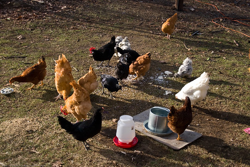 Chickenalia: chickens out for sun and food