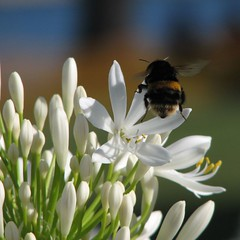 Bumbling around... (Mary Trebilco) Tags: flowers bees bee bumblebee tasmania handheld agapanthus untouched devonport 12xzoom straightfromthecamera canonpowershots3is macroflowerlovers ~~wv~~ superbmacroflowers playingonthebanksofthemerseyriver exceptforacroptosquareitup