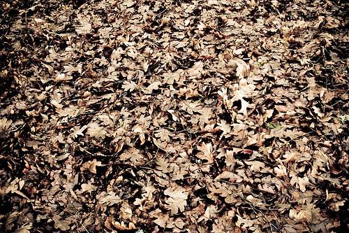Lost In The Crowd - a pile of oak tree leaves in Stayton Oregon