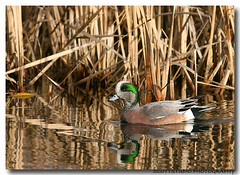 American Wigeon (Darhawk) Tags: green water face duck fife pacificnorthwest pugetsound fowl washingtonstate americanwigeon anasamericana featheryfriday
