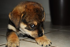 New Puppy (ETRONCOSO) Tags: dog cute beautiful look animal puppy see cool nice mix nikon small great bad peaceful best perro tiny excellent playfull taste paws lovely impressive huggable atractive attitute d40x etroncoso