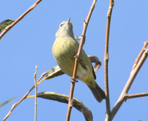 orange-crowned warbler (3)