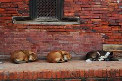 foto cani sonno nepal