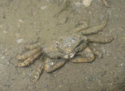 Crab-P1050802