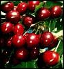 I missed Summer (sevgi_durmaz) Tags: red summer nature beautiful beauty fruit cherry searchthebest delicious missed ilike kiraz kırmızı dogal anawesomeshot top20red citrit top20everlasting goldstaraward fotografca