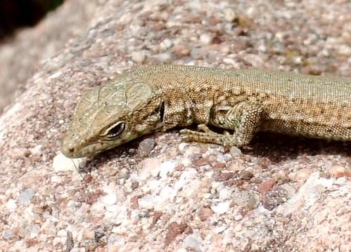 Lizard spain