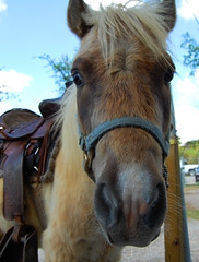 Pony for kids in the flea market (Glenda Suarez) Tags: horses horse animal animals caballo nikon ride market country riding pony ponies homestead fleamarket saddle ponyride caballito galope montar d40 nikonstunninggallery stunningnikon nikond40 mexicansaddle natureselegantshots