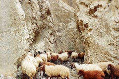 (Roya Zamiri) Tags: film nature sheep