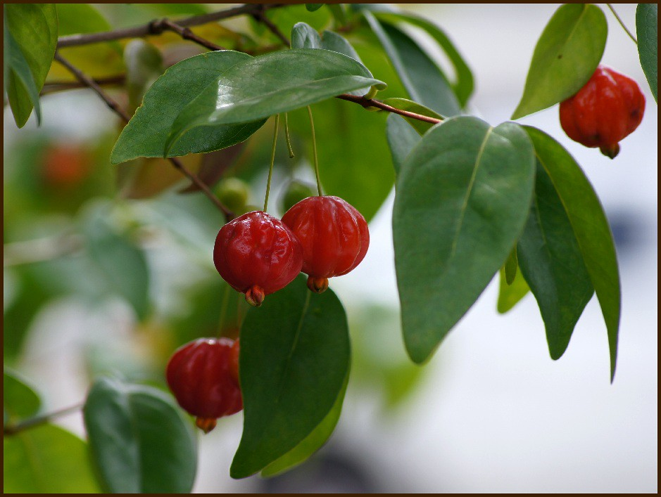 "Red berry - ""Brazilian cherry"""