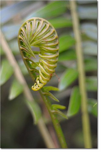 Fern young leaf
