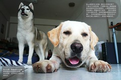 Blunt_080423_FX07_01 (JimmyHsu / ) Tags: pet siberianhusky labradorretriever bernie dailylife blunt panasonicdmcfx07 200804 080423 photoimpactx3